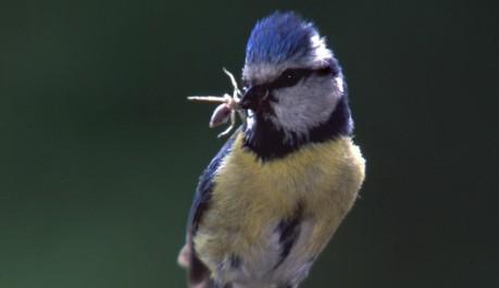 Cinciarella Le Specie Protette Gli Uccelli In Italia Le Specie