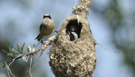Pendolino le specie protette gli uccelli in italia - Primavera uccelli primavera colorazione pagine ...