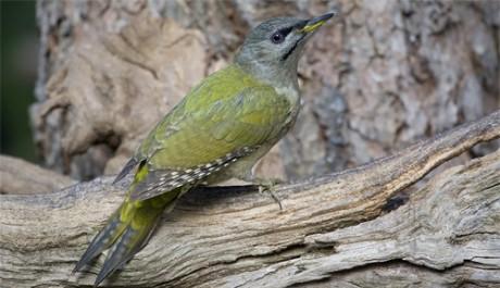 Picchio cenerino le specie protette gli uccelli in for Il nido del picchio