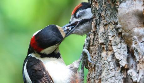 Picchio rosso maggiore le specie protette gli uccelli for Il nido del picchio
