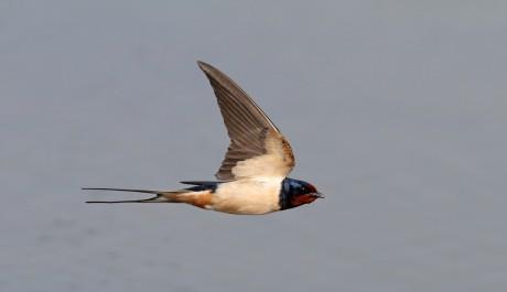 Rondine le specie protette gli uccelli in italia le - Uccelli che sbattono contro le finestre ...